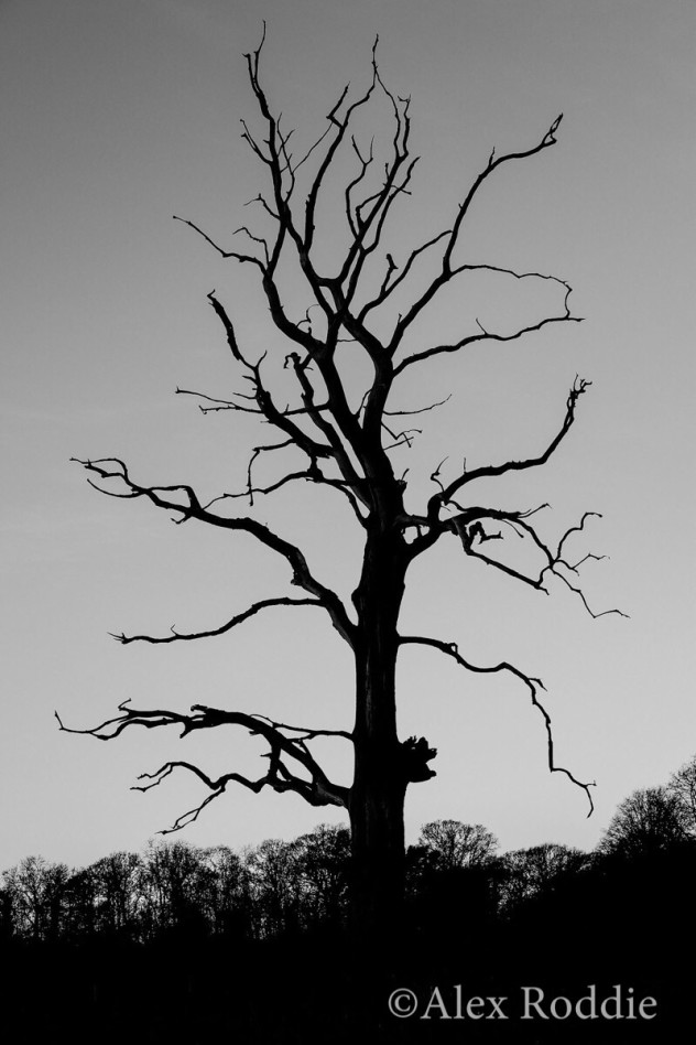 The Poet, a distinctive dead tree in the Gunby parkland, and one of my favourite landmarks in the area