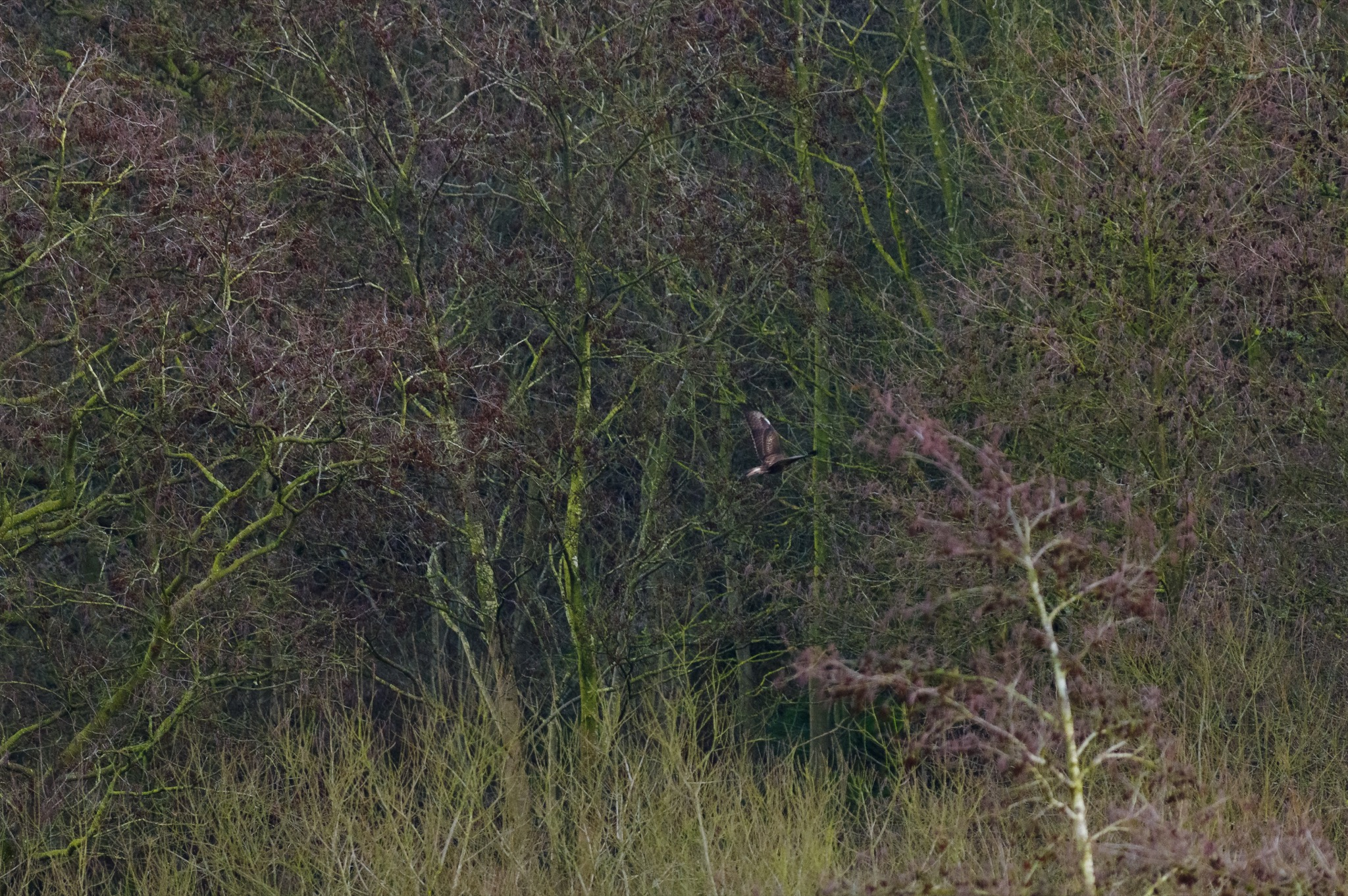 The buzzard disappears into the trees © Alex Roddie